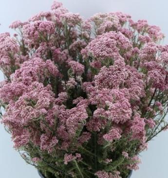 Trockenblumen Reisblume rosa